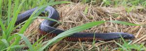 Red Bellied Black Snake (Pseudechis porphyriacus)