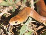 Juvenile Eastern Brown Snake