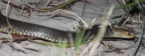 Eastern Brown Snake, Pseudonaja textilis 5