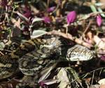 Carpet Python, Morelia spilota 2