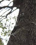 Green Tree Snake, Dendrelaphis punctulata Climb 2