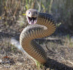 Eastern Brown Snake, Pseudonaja textilis 8