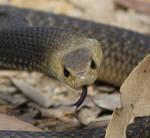 Eastern Brown Snake, Pseudonaja textilis 11 ZOOM