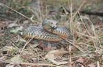 Eastern Brown Snake, Pseudonaja textilis 12