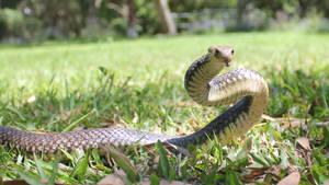 Eastern Brown Snake, Pseudonaja textilis 14