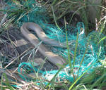 Eastern Brown Snake Rescue 1