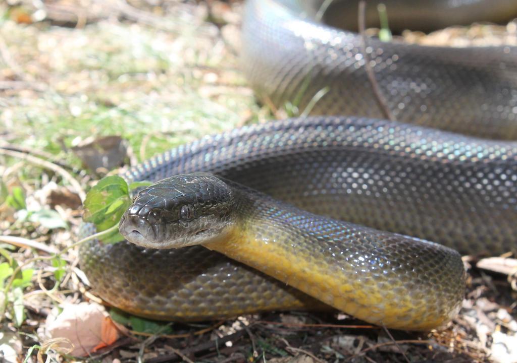 Water Python (Liasis fuscus) | Jannico Kelk | Flickr