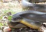 Water Python (Liasis fuscus) 2