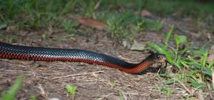 Red Bellied Blacksnake (Pseudechis porphyriacus)3