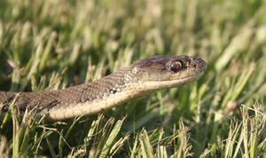Rough Scaled Snake (Tropidechis carinatus) 3