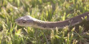 Rough Scaled Snake (Tropidechis carinatus) 5