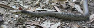 Eastern Brown Snake, Pseudonaja textilis 15