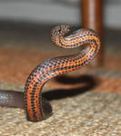 Golden Crowned Snake, Cacophis squamulosus 4