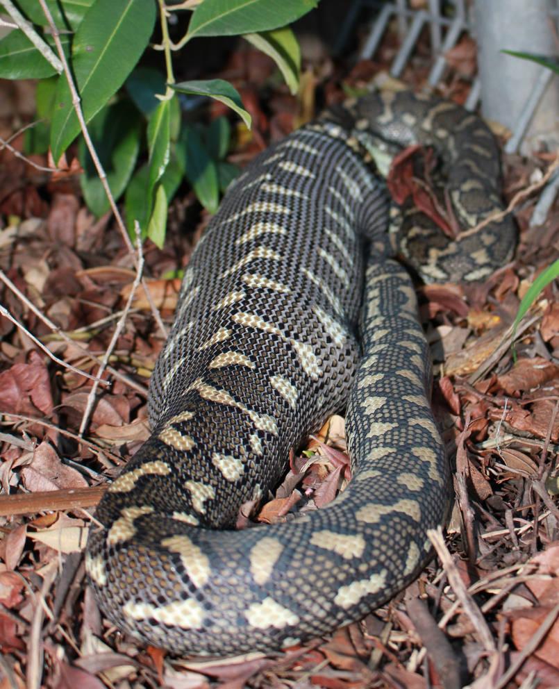 Coastal Carpet Python (Morelia spilota) 8 by SnakeOutBrisbane