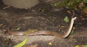Keelback/Freshwater Snake (Tropidonophis mairii) 3