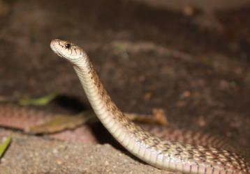 Keelback/Freshwater Snake (Tropidonophis mairii) 6 by SnakeOutBrisbane