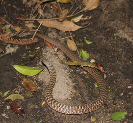 Keelback/Freshwater Snake (Tropidonophis mairii) 7 by SnakeOutBrisbane