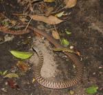 Keelback/Freshwater Snake (Tropidonophis mairii) 7