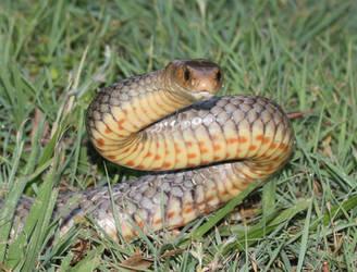 Eastern Brown Snake Freed From Garden Netting by SnakeOutBrisbane