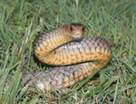 Eastern Brown Snake Freed From Garden Netting