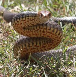 Chunky Eastern Brown Snake (Pseudonaja textilis) by SnakeOutBrisbane