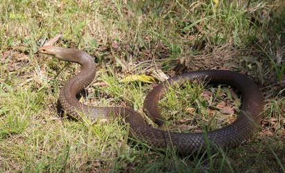 Eastern Brown Snake from Office Drain, Sept. 2017