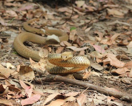 Golden coloured Eastern Brown Snake