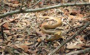 Golden coloured Eastern Brown Snake 2