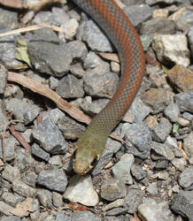 Yellow Faced Whipsnake (Demansia psammophis)
