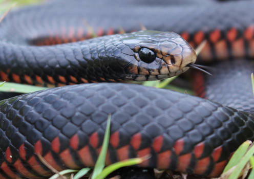 Red-Bellied Blacksnake (Pseudechis porphyriacus)