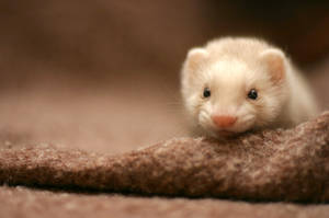 my friend ferret by Sashe4ka
