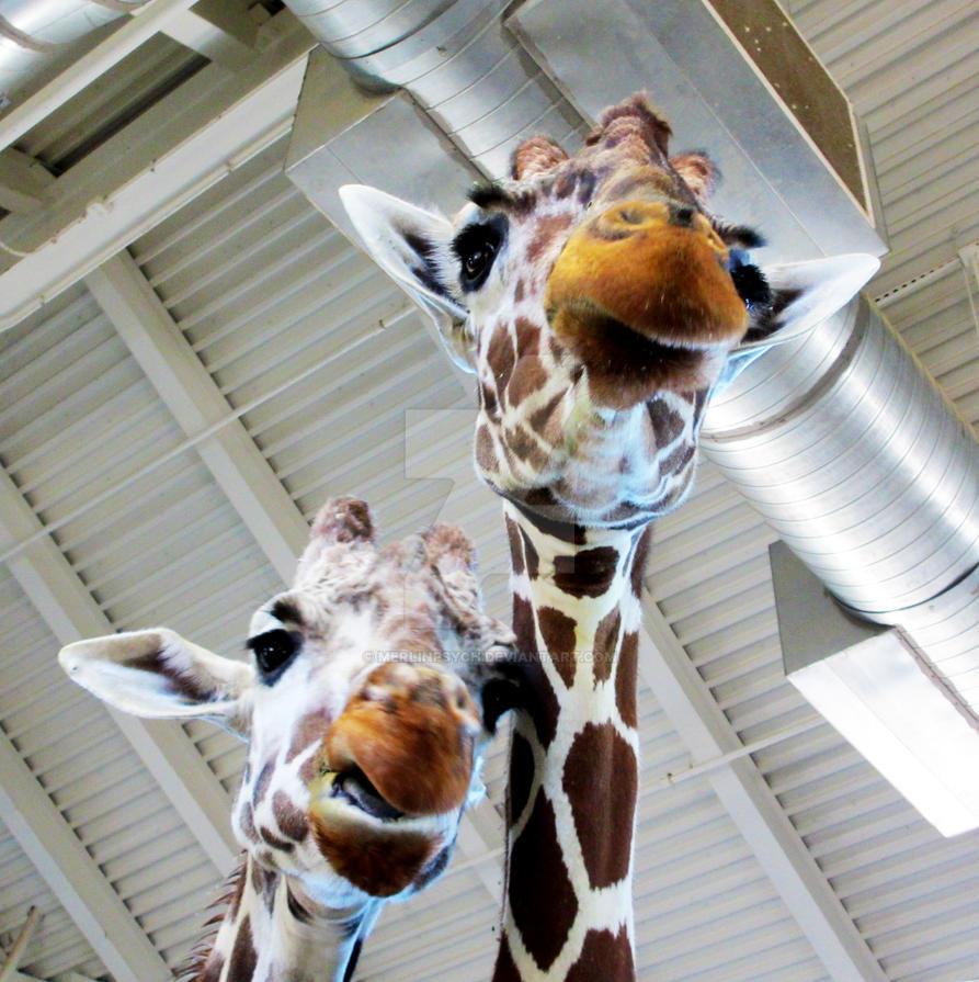Towering Giraffes by MerlinPsych