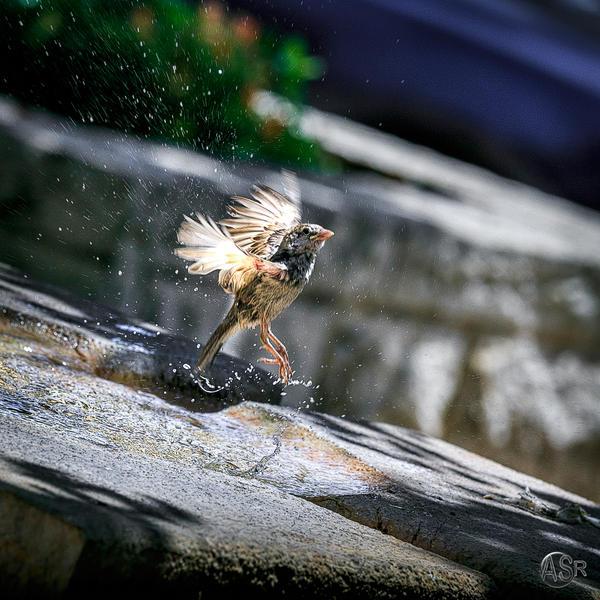 Sparrow by ASRabatuda