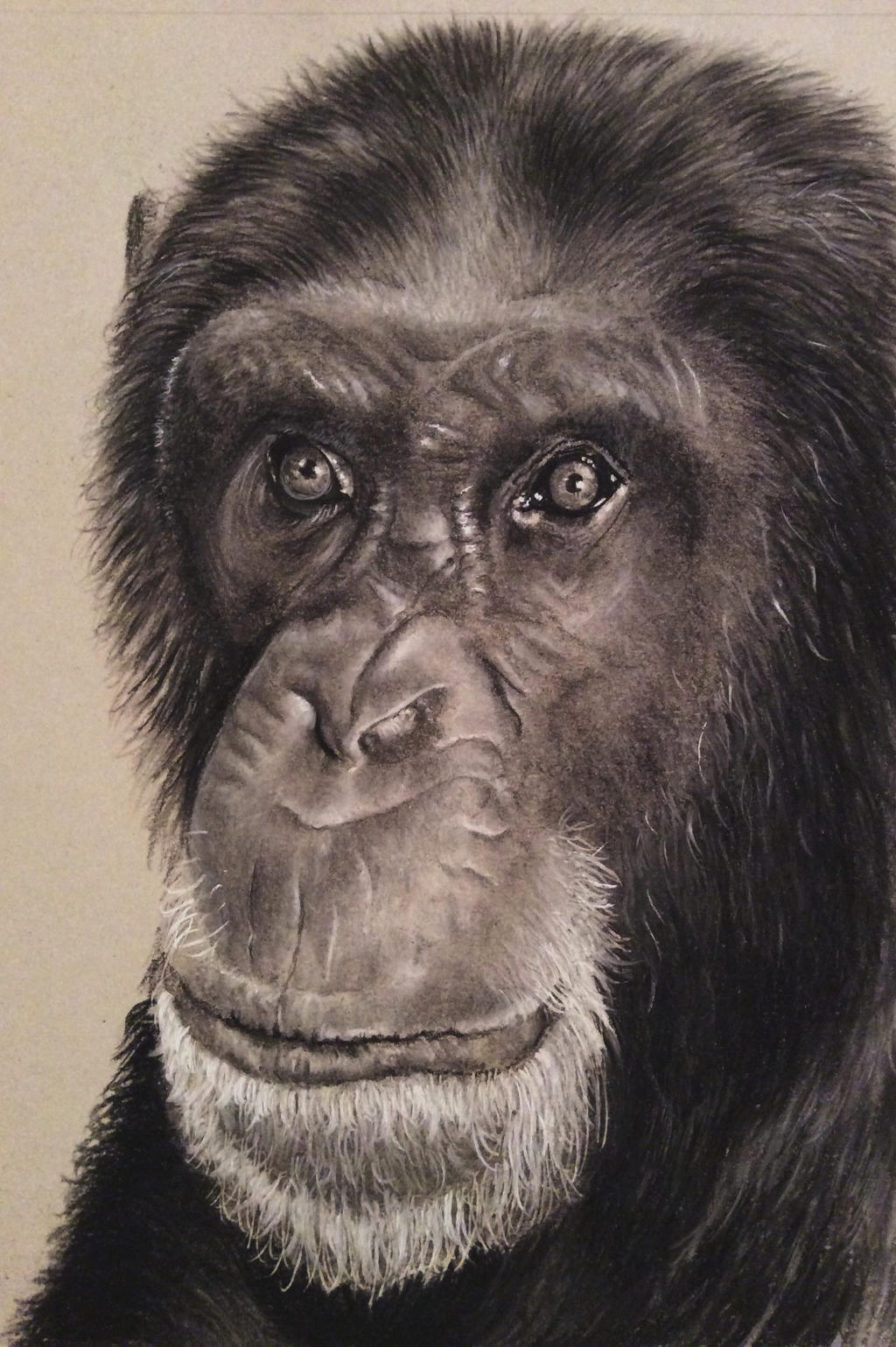 chimpanzee charcoal drawing by donnabe on deviantART