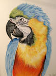pastel drawing. Macaw parrot