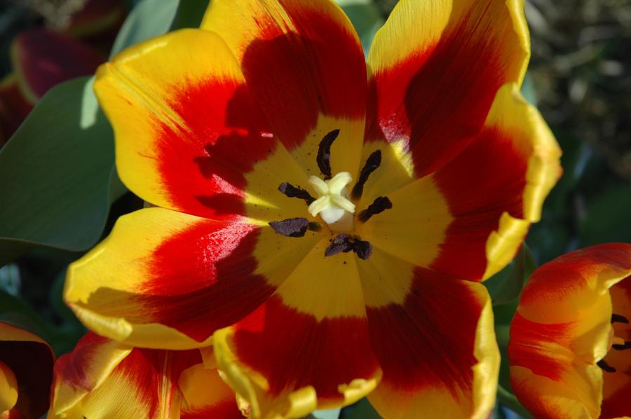 Sunset Tulip by Gryffgirl