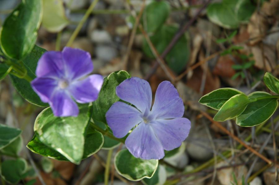 Wild Violet by Gryffgirl