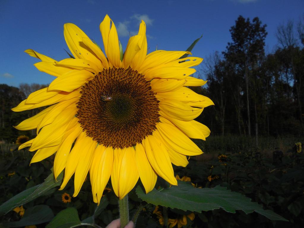 I'm Just as Happy as a Big Sunflower by Gryffgirl