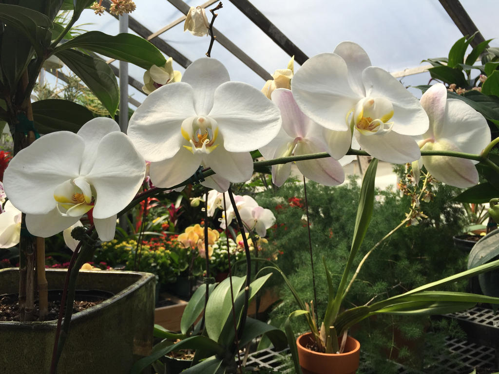 White Orchids by Gryffgirl