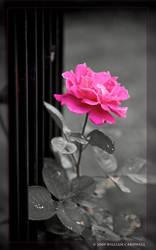The Last Climbing Rose