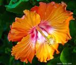 Hibiscus in Bloom