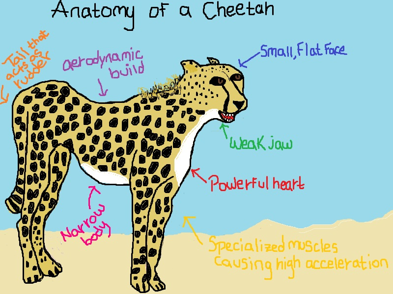 Cheetah Anatomy by veveze on DeviantArt