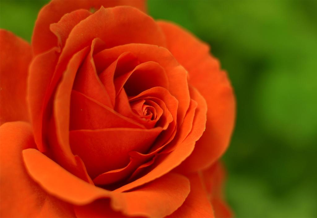 r rose 18