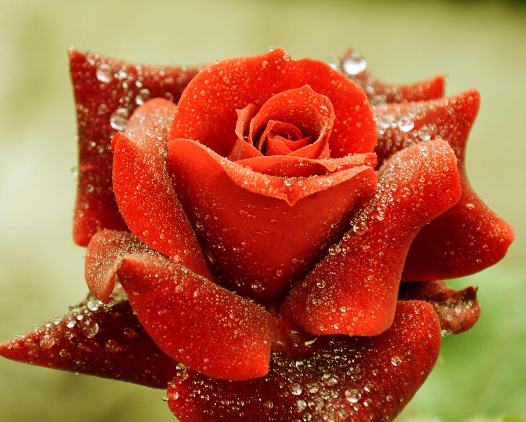 r rose 19