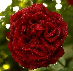 r rose 20