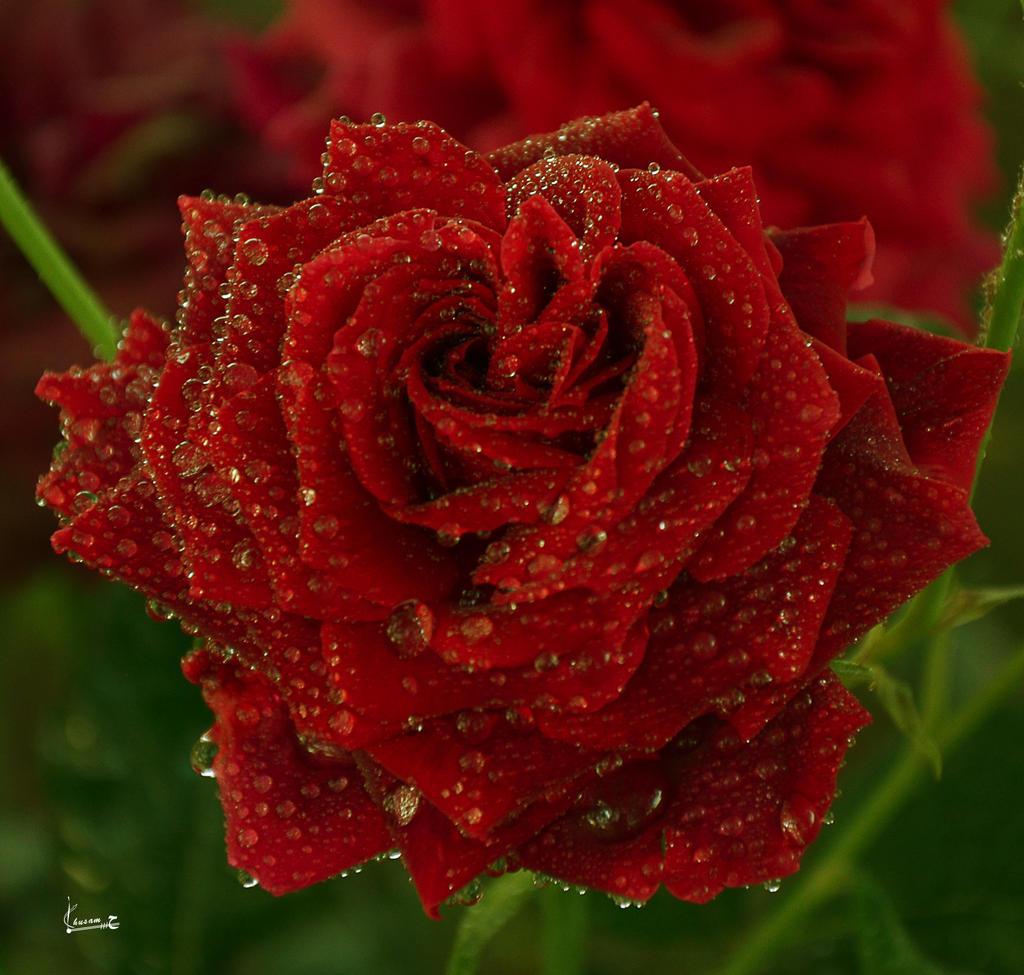 r rose 21