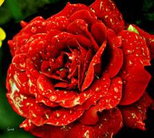 r rose 23