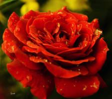 r rose 24