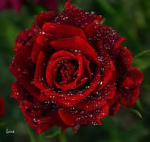 r rose 26