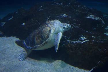 Sea Turtle Stock by AmandaKulpStock